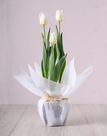 White Tulip Plant