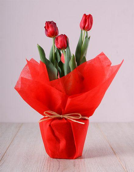 Red Tulip Plant