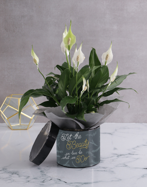 Golden Beauty Lily Plant In Hatbox
