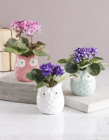 African Violet in Owl Pot