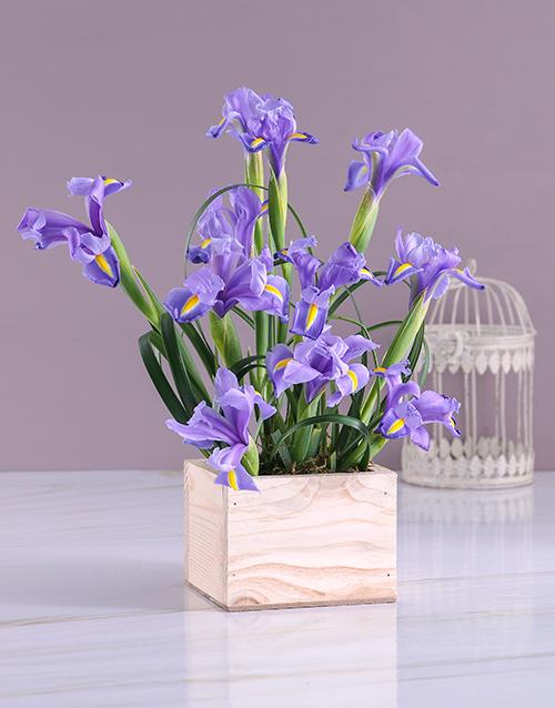 Box of Blue Irises