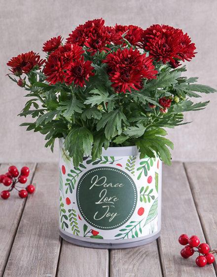 Christmas Chrysanthemum in Cylinder Vase