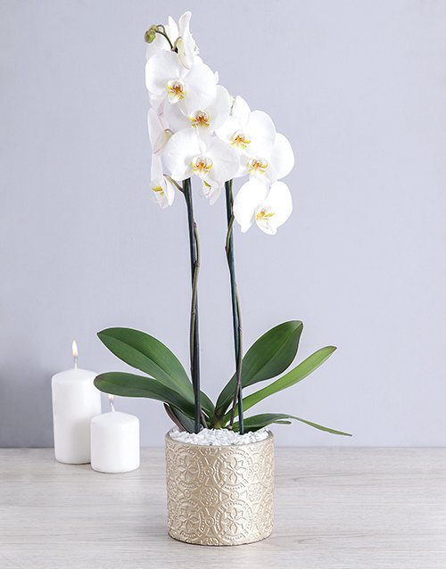 White Phalaenopsis Orchid in Round Pot