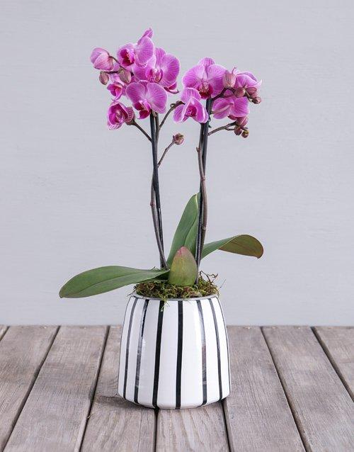 Pink Midi Phalaenopsis Orchid Pot