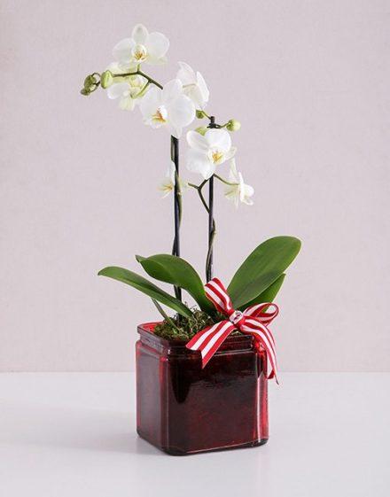 Midi White Phalaenopsis Orchid Vase