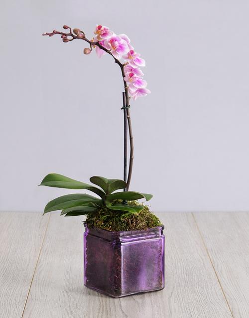 Mini Orchid in a Square Purple Vase