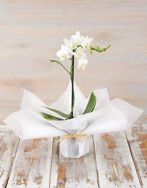 Tranquil Mini Phalaenopsis Orchid