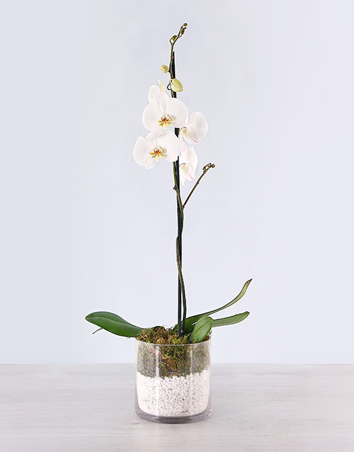 Phalaenopsis Orchid with Pebbles