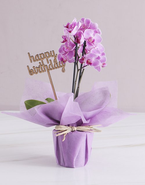 Pink Midi Birthday Orchid In Wrapping