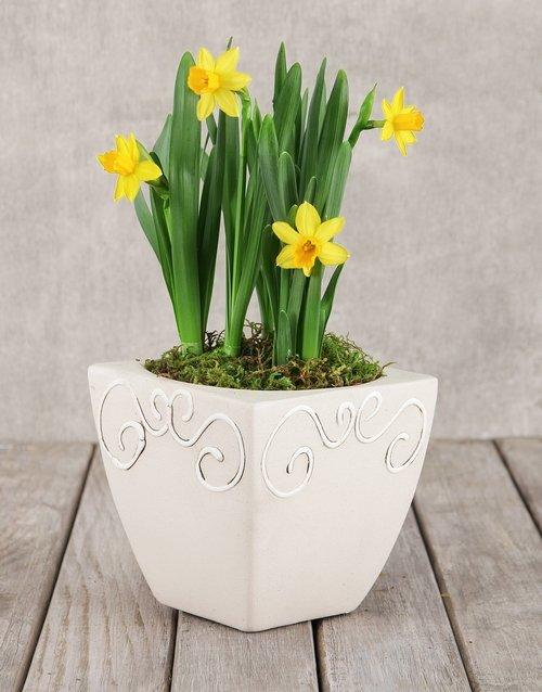 Daffodil Plant in Square Pot