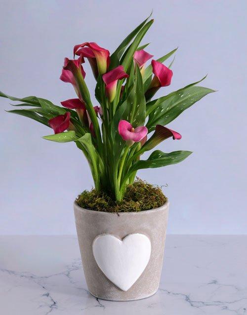 Pink Zantedeschia in Heart Pot for Mom