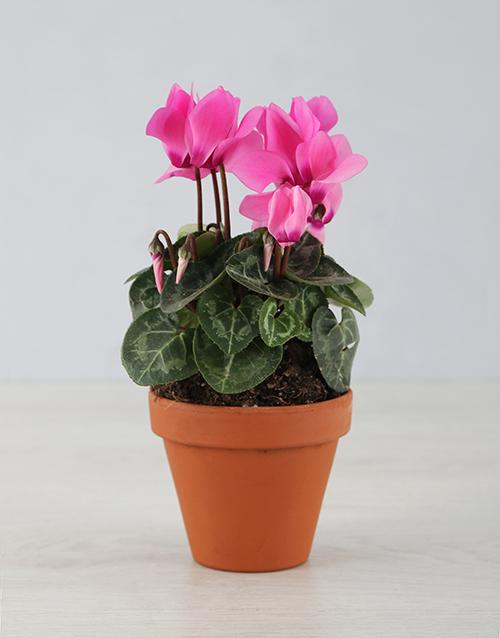 baby Itsy Bitsy Cyclamen Pot Plant