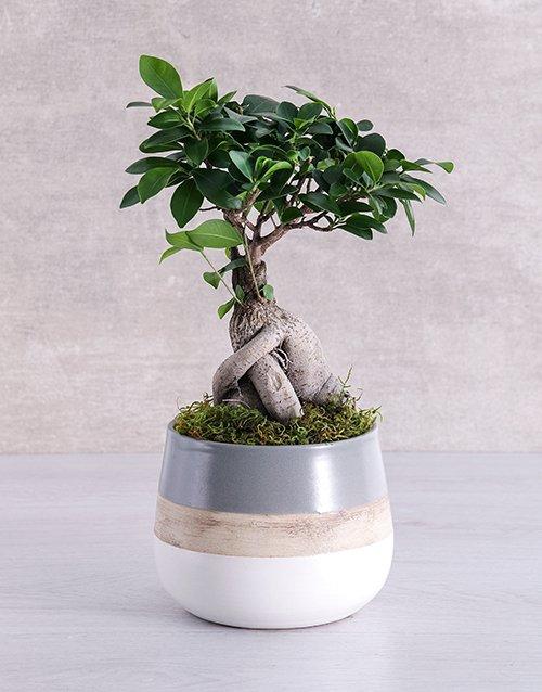 fathers-day Ficus Bonsai Tree in Striped Pot