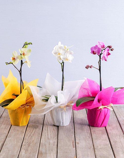 birthday Midi Phalaenopsis Orchid