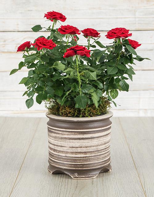 roses Red Rose Bush in Ceramic Pot