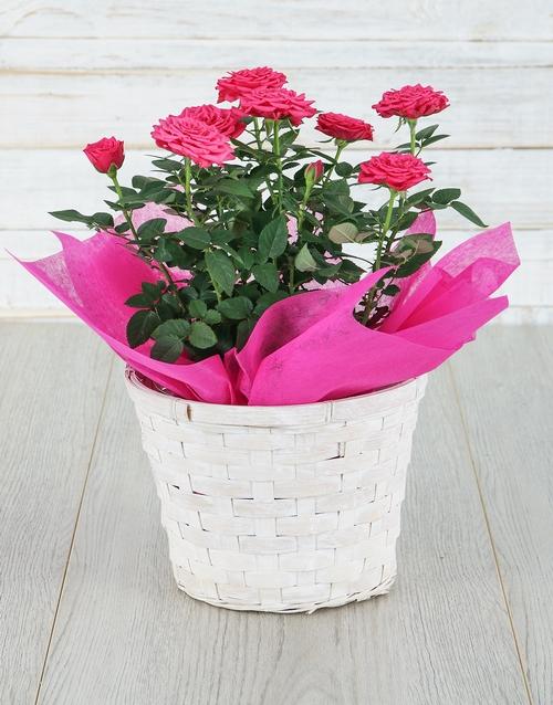 roses Cerise Rose Bush in Planter