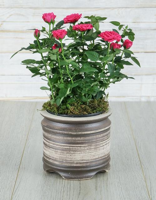 roses Cerise Rose Bush in Ceramic Pot