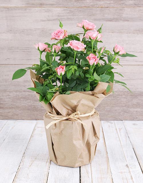 roses Pink Rose Bush in Craft Paper