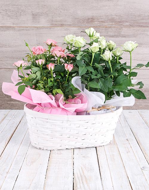 roses Double Rose Bush Basket