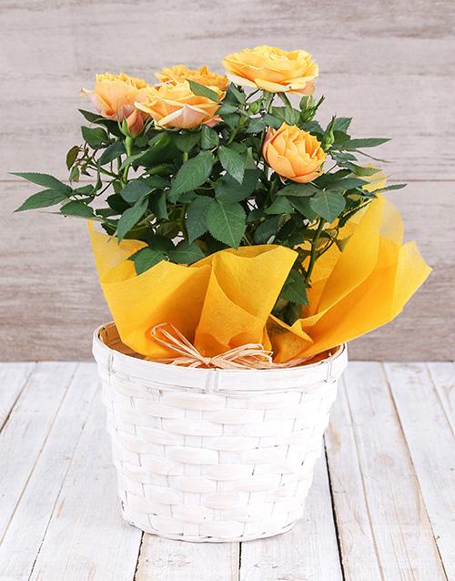 roses Yellow Rose Bush in Planter