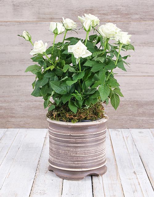 roses White Rose Bush in Ceramic Pot