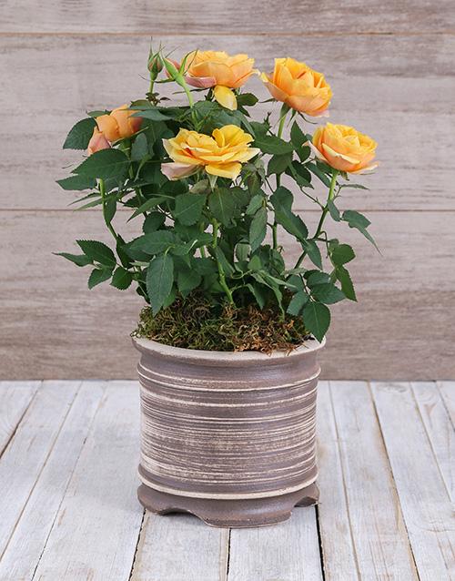 roses Yellow Rose Bush in Ceramic Pot