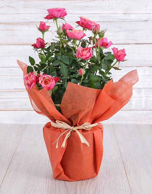 roses Orange Rose Bush in Wrapping