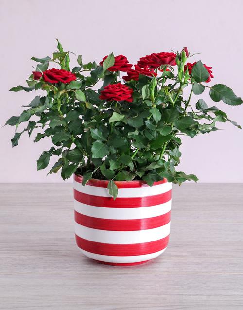 roses Red Rose Bush in Striped Pot