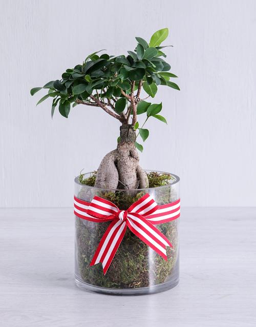 birthday Ficus Bonsai Tree in Red Ribbon Cylinder Vase