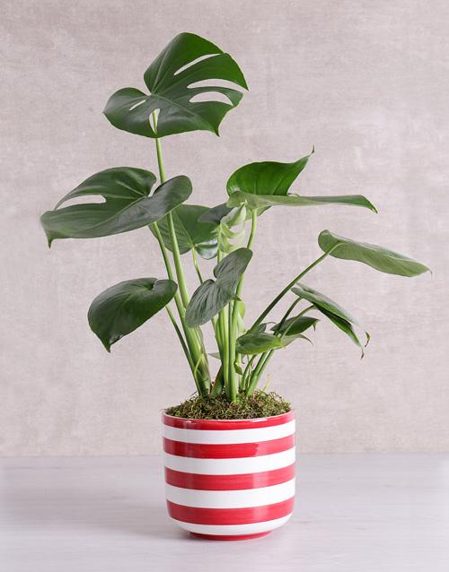 birthday Monstera Plant in Red Striped Vase