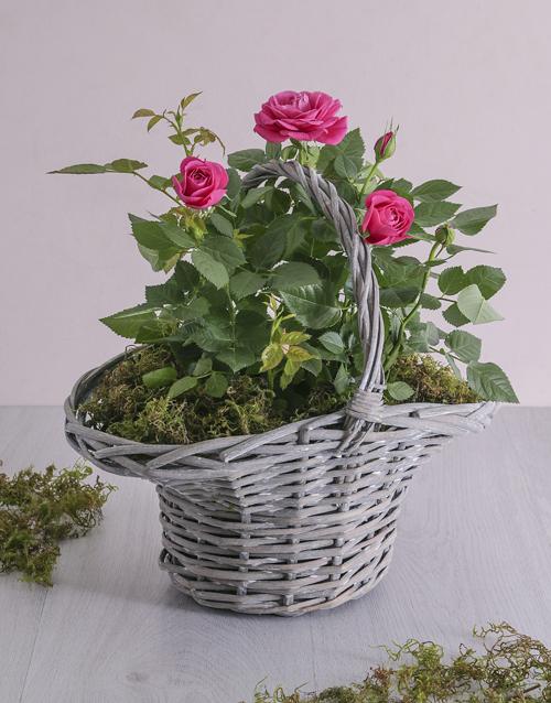 roses Rose Bush In A Basket