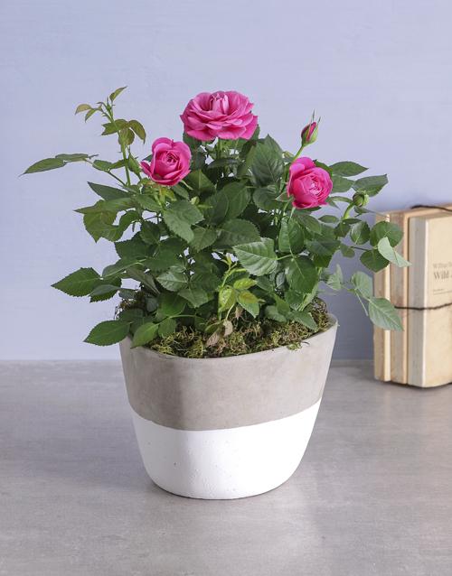 roses Cerise Rose Bush In Cement Feel Pot