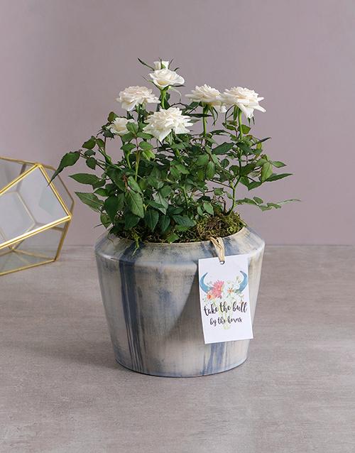 roses White Rose Bush in Blue Washed Pot
