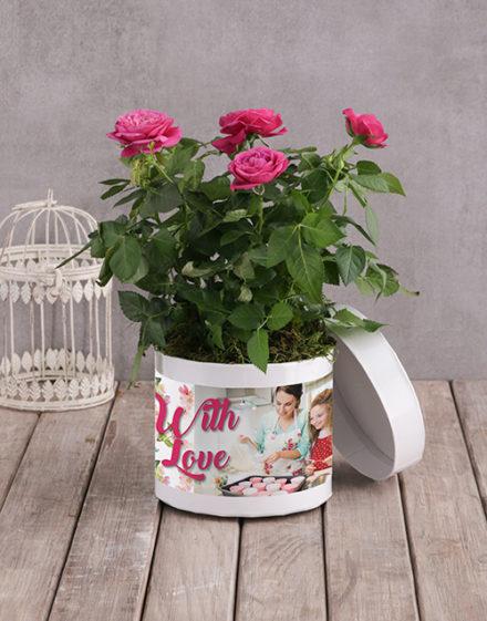roses Cerise Rose Bush In White Hatbox