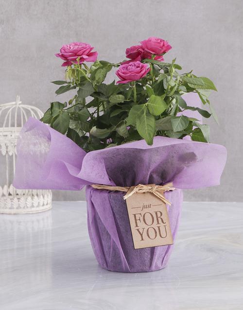 roses Cerise Rose Bush In Purple Wrap
